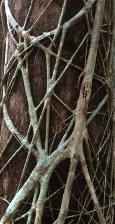 Strangler Fig   Noosa National Park.