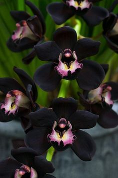 Black Orchid | midnight black orchid  My Favorite Flower!