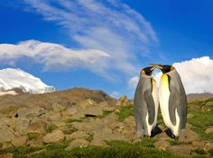O fotógrafo Sergey Kokinskiy  descobriu os pinguins vivendo fora da neve quando pousou na ilha  Foto: The Grosby Group