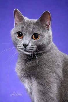 Chartreux cat (so cutie!)