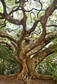 Ancient tree, Brisbane, Australia