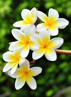 Hawaiian flower: Pua Melia (Plumeria) or frangipani. I want this as a tattoo on … Hawaiian flower: Pua Melia (Plumeria) or frangipani. I want this as a tattoo on the back of neck with my wedding date underneath in a pretty script! Exotic Flowers, Tropical Flowers, Amazing Flowers, My Flower, Pretty Flowers, Unique Flowers, White Flowers, Flower Farm, Flowers Uk