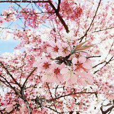 【am.mayara】さんのInstagramをピンしています。 《Cherry blossom // minha favorita ================================= #photo #cherryblossoms #amazing #nature #loveit #wanderlust》