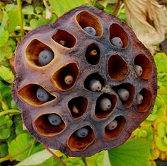 Lotus Pod by Maureclaire, via Flickr