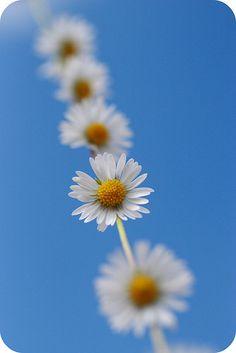 daisy chain / sunshine in the hills