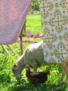 Mouton Poule Campagne