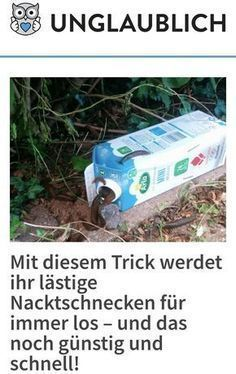 Build a poison-free slug trap by first mixing one liter of water 25 g of malt extract and 30 ml of alcohol. The angered