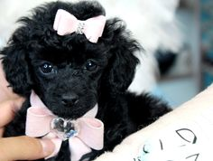 ♥♥♥ Teacup Poodles! ♥♥♥ Bring This Perfect Baby Home Today! Call 954-353-7864 www.TeacupPuppies... ♥ ♥ ♥ TeacupPuppiesStore - Teacup Puppies Store Tea Cup