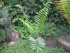 Encephalartos Manikensis: a not so common Africa cycad that is valued at R65 a cm
