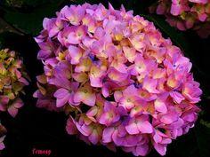 jardin exteriores imagenes : Flores   Hortensia