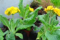 ☑︎ Primula - Växten är sannolikt ofarlig