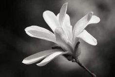 Cuadro Magnolia Dreams II