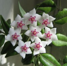My mum had this wax flower plant by the front door...