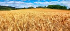 Breeding of Wheat (Part III)