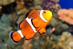 _julie larsen maher 6660 clownfish AQ 5 5 10.jpg (440×294)