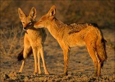 Google Image Result for http://animal.discovery.com/tv/a-list/creature-countdowns/dads/images/dads-golden-jackal.jpg