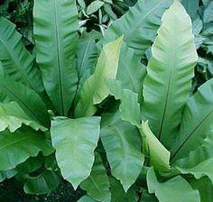 ASPLENIUM NIDUS: Nomes Populares: Asplênio, Ninho-de-passarinho/ Família: Aspleniaceae/ Categoria: Folhagens, Plantas Palustres/ Clima: Equatorial, Subtropical, Tropical/ Origem: Ásia/  Altura: 0.3 a 0.4 m, 0.4 a 0.6 m, 0.6 a 0.9 m, 0.9 a 1.2 m, 1.2 a 1.8 m/ Luminosidade: Luz Difusa/   Ciclo de Vida: Perene