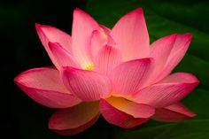 lótus cor de rosa: Acredita-se que ela denota a mente de uma pessoa - quando está fechada, representa a fase de transição que ocorre no caminho em direção à espiritualidade, enquanto a flor já aberta com todo o seu esplendor representa a iluminação.