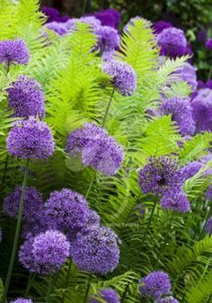 8 Best And Wonderful Planting Combination Ideas For Beautiful Garden My Favorite Plant Combinations 67 Garden Shrubs, Shade Garden, Garden Plants, Garden Landscaping, Purple Garden, Landscaping With Grasses, Landscaping Ideas, Inexpensive Landscaping, Garden Beds