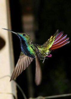 Beautiful hummingbird in flight