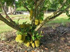 jaca bonsai