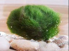 "Hinterland Trading Three Live Marimo Moss Ball Pet Cladophora Aquatic Plant 1 1/4"" Hinterland Trading http://www.amazon.com/dp/B00J6DD1SU/ref=cm_sw_r_pi_dp_Jxqdub0J41WGN"