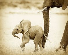 Vintage SAFARI BABY ANIMALS, Set of 4 Sepia Photos, Elephant, Lion, Cheetah, Giraffe, African Wildlife Photography, Safari Baby Nursery Art