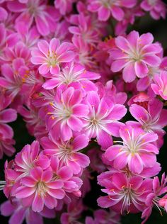 "Lewisia cotyledon ""Tickle me pink"": Evergreen perennial, flowers in spring. Part shade only. Suits rock gardens."