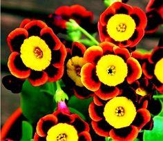 Liesl 트라이 컬러 희귀 피튜니아 연간 꽃 씨앗, 전문 팩, 100 씨앗/팩, 핀다 미세 설탕