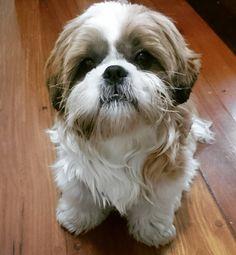 Boa semana gente Have a great week guys #shihtzusofinstagram #shihtzu #shihtzulovers #cachorrinho #fofo #cute #Lovely by floquinho.shihtzu