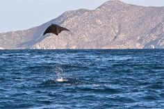 Munk's Devil Ray. Cabo Pulmo, Baja California Sur, Mexico - My husband and I saw so many of these jumping out of the water when he took me on our first vacation to Cabo when we started dating. It was awesome!