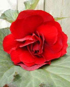 Begonia tuberosa 'Roseform Scarlet' Begonia