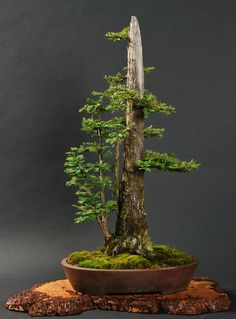 Coast redwood Bonsai tree