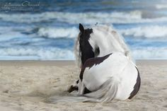 paint horse laying on the beach