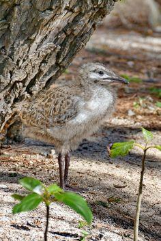 Junge Möwe auf Heron Island... nur einer der vielen tausend Vögel auf der Insel Great Barrier Reef, Island, Heron, Animals, Pictures, Snorkeling, Travel Report, Travel, Animales