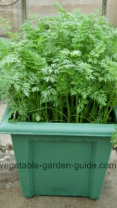 How To Urban Garden How To Grow Carrots In Plant Containers ~ carrots are great for growing in containers. and great for the kids to grow there own in them too. Container Gardening Vegetables, Container Plants, Plant Containers, Vegetable Gardening, Growing Carrots, Growing Vegetables, Gardening For Beginners, Gardening Tips, Garden Guide