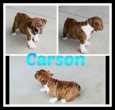 www.ThatDoggyintheWindow.com -  Carson  Male AKC English Bulldog, $105.00 (http://stores.thatdoggyinthewindow.com/carson-male-akc-english-bulldog/)