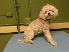 #A4799368 My name is Bella and I'm an approximately 2 year old female maltese. I am not yet spayed. I have been at the Carson Animal Care Center since January 5, 2015. I will be available on January 9, 2015. You can visit me at my temporary home at C247. https://www.facebook.com/171850219654287/photos/pb.171850219654287.-2207520000.1420584228./355966164576024/?type=3&theater