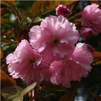 Find Cornish plants for every garden - Plant A-ZDuchy of Cornwall Nursery Prunus, Pink Tone, Cornwall, Garden Plants, Tropical, Nursery, Flowers, Baby Room, Peach