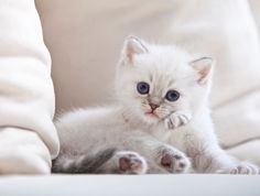 Miao! Miao! Miao! 44 Super Cute White Kitten, enjoy!