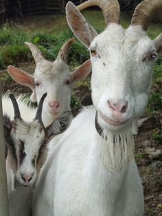 There are funny animals. Rare Animals, Clay Animals, Zoo Animals, Animals For Kids, Animals And Pets, Funny Animals, Animals Amazing, Animals Beautiful, Cabras Saanen