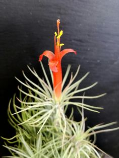 #plantasdeaire #airplants #tillandsia  #evergreenlanzarote #livingart #tillandsiafunckiana #lava