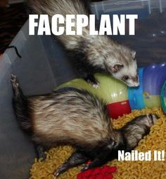 Ferret face plant.  – - - Ferrets are so much fun, especially with one another.