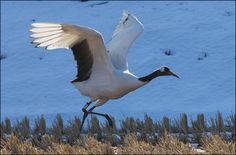 A Pair of Red-crowned Cranes at a field in Haman, Gyeongsangnamdo Province, Korea (January 18, 2013)