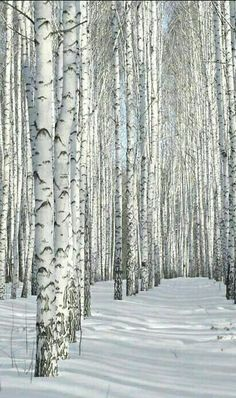 Beautiful Birch in Winter.