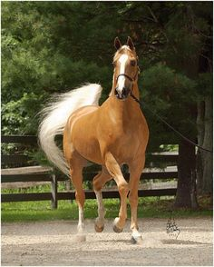 Horse / Golden Palomino Arab Stallion