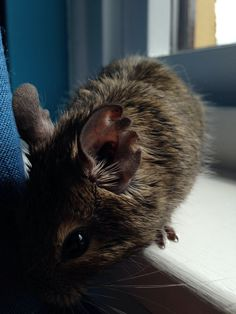 Klaus the Degu Degu, Cats, Swimming, Animaux, Gatos, Kitty Cats, Cat, Kitty, Serval Cats