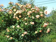 """Rose """"Westerland"""""""