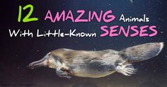 OK, these are definitely NOT pets, but I was surprised by their cool sensory abilities!!  Here's a collection of surprising facts about the sensory acuity of a dozen different members of the animal kingdom. http://healthypets.mercola.com/sites/healthypets/archive/2015/01/10/animal-sensory-acuity.aspx