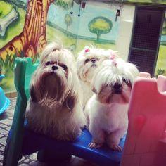 Dog's Fashion Pet com Lili, Bibi e Morena em um dia descontraído no Hotel e Creche http://www.dogsfashionpet.com.br/hotelzinho.php Rua Quintino Bocaiúva 1094 - Ribeirão Preto - SP #ribs #ribeiraopreto #saopaulo #orlandia #rio #rioclaro #saocarlos #serrana #serraazul #saosimao #pirassununga #leme #limeira #pets #petshop #doglovers #dogsofinstagram #caes #gatos #cats #veterinaria #spitz #sp #love #brasil #brodowski #banho #tosa #amor #carinho